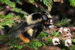 Volucella bombylans